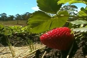 Int #132-Australia-Tasmania-strawberry