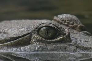 Int #170-Australia-eye croc