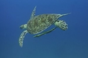 Int 82 - Australia - Barrier Reef turtle