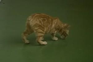 Journeys #25 Isle of Man Manx cats