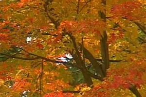 Railways #57-Ontario red trees